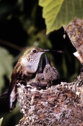 Broad-tailed Hummingbird Photo