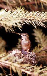Broad-tailed Hummingbird Photo