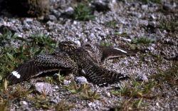 Common Nighthawk Photo