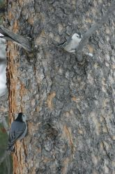 Two white-breasted nuthatches near Silver Gate, MT Photo