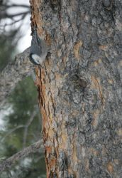 White-breasted nuthatch near Silver Gate, MT Photo