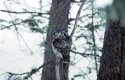 Boreal Owl in Silver Gate, Montana Photo