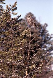 Great Gray Owl perched on tree top Photo
