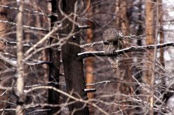 Great Gray Owl looking for prey Photo