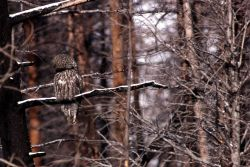 Great Gray Owl preening Photo