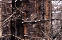 Great Gray Owl on burned tree branch Photo
