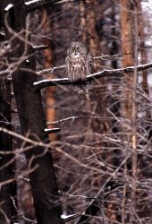Great Gray Owl perched on burned tree branch Photo