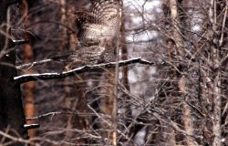 Great Gray Owl flying off from branch Photo