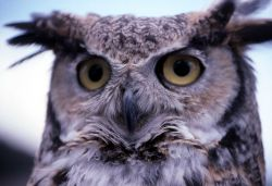 Captive Great Horned Owl - used in Yellowstone Association class Photo