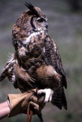 Captive Great Horned Owl sitting on gloved hand - used in Yellowstone Association class Photo