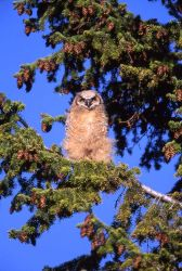 Great Horned owlet at Mammoth Hot Springs Photo