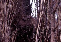 Two Great Horned Owl nestlings Photo