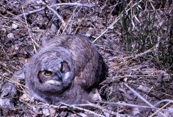 Juvenile Great Horned Owl Photo