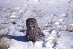 Great Gray Owl on snow Photo