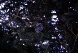 Saw Whet Owl Photo