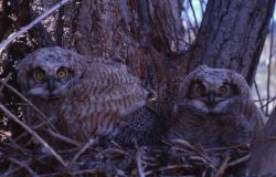 Great Horned Owl nestlings Photo