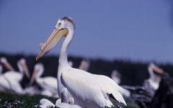 White pelicans & nestlings Photo