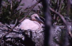 White pelican nestling Photo