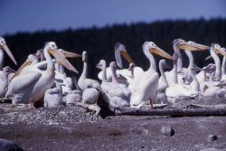 White pelicans & juveniles at Molly Island Photo