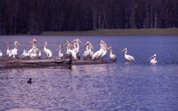 White pelicans & California gulls Photo
