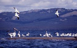 White pelicans at Molly Island Photo