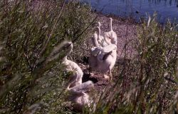 White pelican juveniles Photo