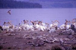 White pelicans & juveniles Photo