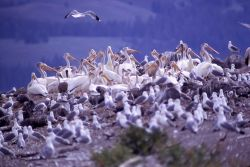 White pelicans, juveniles & California gulls Photo