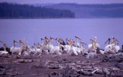 White pelicans & juveniles Photo