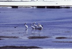 White pelicans in river in winter Photo