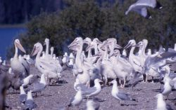 Juvenile White pelicans & adult California gulls on Molly Island Photo