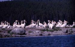Juvenile White pelicans on Molly Island Photo