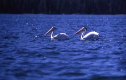 White pelicans near Molly Island Photo