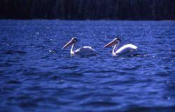 White pelicans near Molly Island Photo