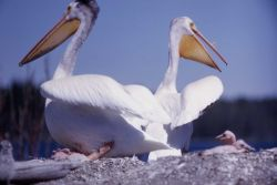 White pelicans & nestlings Photo
