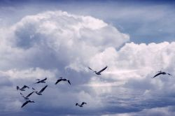 White pelicans in flight Photo