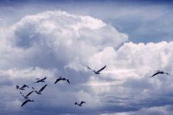 White pelicans in flight Photo