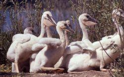 White pelican juveniles Photo