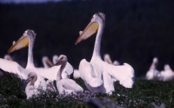 White pelicans nesting Photo