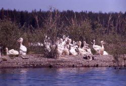 White pelican juveniles on Molly Island Photo