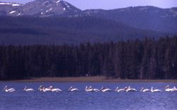 White pelicans at southeast arm Photo