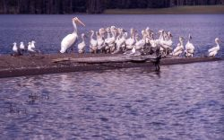 White pelican juveniles, one mature adult & California gulls Photo