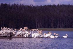 White pelicans & juveniles at southeast arm Photo