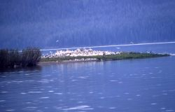 White pelican nesting colony Photo