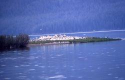 White pelican nesting colony Photo