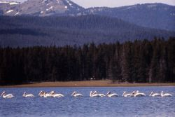 White pelicans on lake with mountains in background Photo