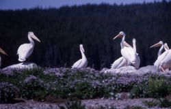 White pelicans on Molly Island Photo