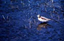 Northern Phalarope with summer plumage Photo
