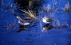 Two Northern Phalaropes with winter plumage Photo