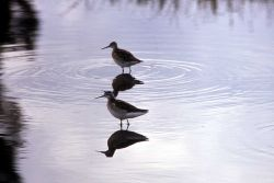 Two Northern Phalaropes Photo
